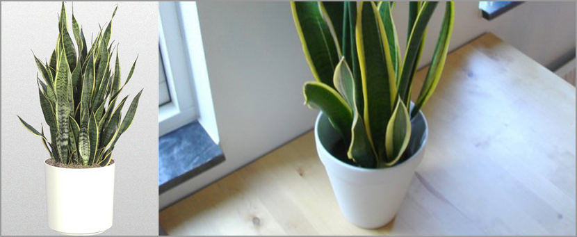Sansevieria trifasciata Plants That Purify Indoor Air Quality (Smokers)